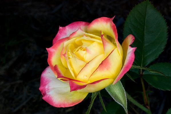 51 роза как выглядит